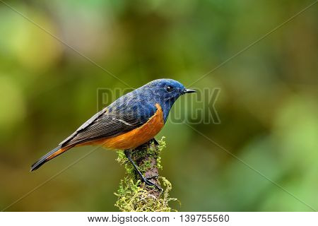 Exotic Blue Bird, The Blue-fronted Redstart (phoenicurus Frontalis) Perching On Top Of Wooden Stick
