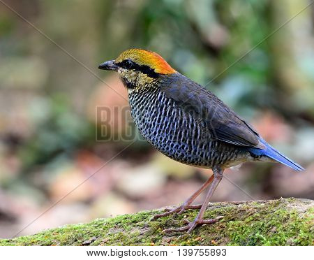 Female Of Blue Pitta (hydrornis Cyaneus) The Beautiful Grey And Pale Blue Bird Standing On The Green