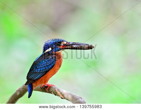 Female Of Blue-eared Kingfisher (alcedo Meninting) Perching On The Thorn Branch Picking Fish In His