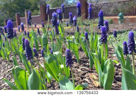 Muscari growing on the countryside in the springtime.