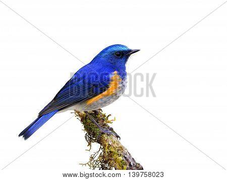 Male Of Himalayan Bluetail Or Orange-flanked Bush-robin (tarsiger Rufilatus) The Beautiful Blue Bird