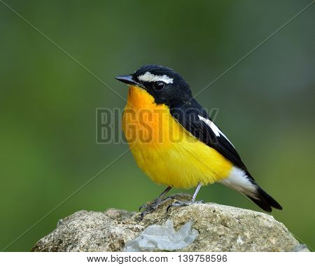 Male Of Yellow-rumped Flycatcher, Korean Flycatcher Or Tricolor Flycatcher (ficedula Zanthopygia) Th