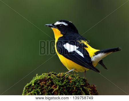 Male Of Yellow-rumped Flycatcher (ficedula Zanthopygia) The Beautiful Yellow Bird Perching On The Mo