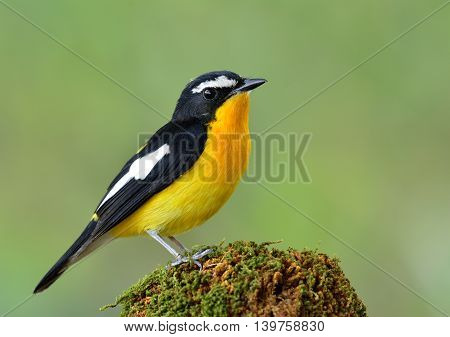 Male Of Yellow-rumped Flycatcher (ficedula Zanthopygia) The Most Beautiful Yellow Bird Perching On M