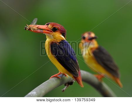 Parents Of Black-backed Kingfisher (ceyx Erithaca) Standing On The Branch Carrying Insect Food To Fe
