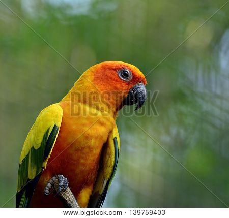 Portrait Of Sun Parakeet Or Sun Conure (aratinga Solstitialis) The Beautifulyellow Parrot Bird, Beau