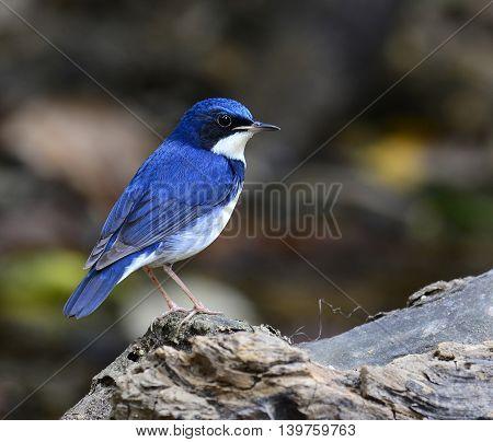 Siberian Blue Robin ( Luscinia Cyane) The Beautiful Blue Bird Standing On The Wooden Log Showing Its