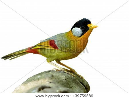 Silver-eared Mesia (leiothrix Argentauris) The Beautiful Yellow Bird And Silver On Its Ears Standing