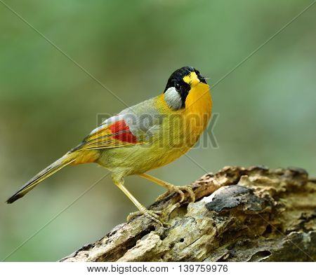 Silver-eared Mesia (leiothrix Argentauris) The Beautiful Yellow Bird With Silver On Its Ears Standin