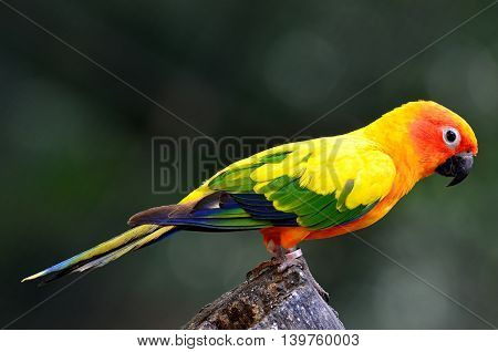 Sun Conure (aratinga Solstitialis) The Lovely Yellow Parrot Perching On The Log Showing Its Back Fea