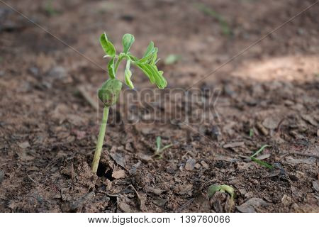 grown up of young tamarind tree in plantation