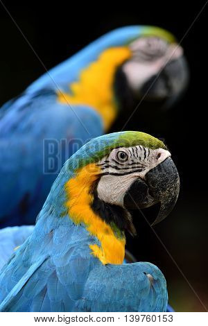 Sweet Of Blue-and-yellow Macaw Parrot Birds (ara Ararauna) Known As The Blue-and-gold Macaw In Diffe