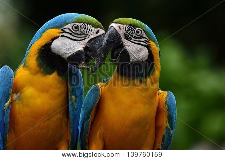 Sweet Of Blue-and-yellow Macaw Parrot Birds (ara Ararauna) Known As The Blue-and-gold Macaw Kissing