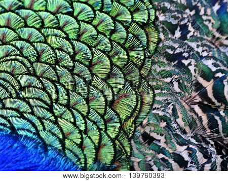The amazing close up of velvet green patches along with camouflage beisde on Indian Peacock body feathers the most beautiful bird feathers background