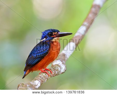 The Male Of Blue-eared Kingfisher (alcedo Meninting) The Tiny Beautiful Blue Bird Sitting On The Bra