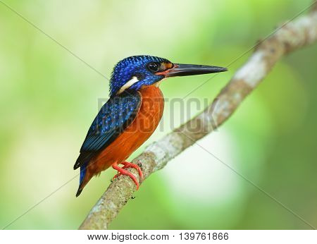 The Male Of Blue-eared Kingfisher (alcedo Meninting) The Tiny Beautiful Blue Bird Standing On The Br
