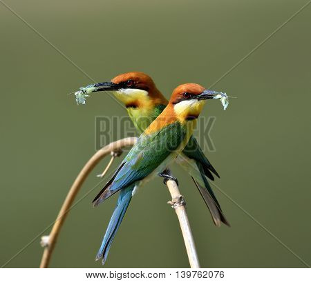 The Pair Of Chestnut-headed Bee-eater (merops Leschenaulti) The Beautiful Orange Head, Green Body An