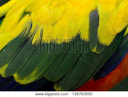 Wing Of Sun Parakeet Or Sun Conure (aratinga Solstitialis) The Yellow Parrot Bird With Close Up In F