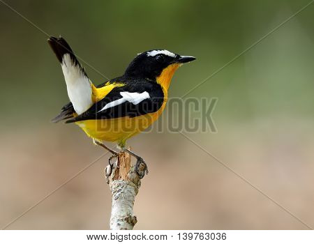 Yellow-rumped Flycatcher (ficedula Zanthopygia) The Beautiful Yellow Bird Perching On Stick With Tai