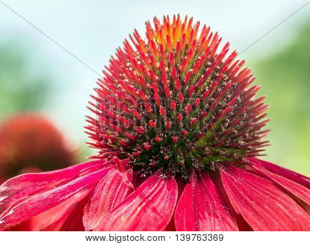 Closeup of red echinacea flower
