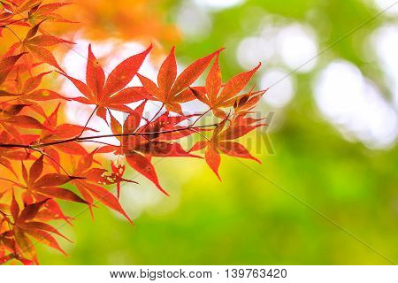 maple red leaves in autumn forest background