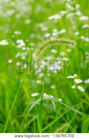 Foxtail tells us that the summer came.