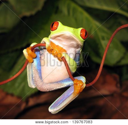 Red eye tree frog perched on vine with orange hands folded in front.