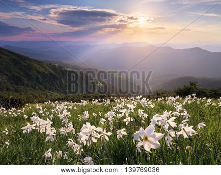 Summer landscape in the mountains. Glade with white flowers. Blooming daffodils in the wild. Carpathians, Ukraine, Europe