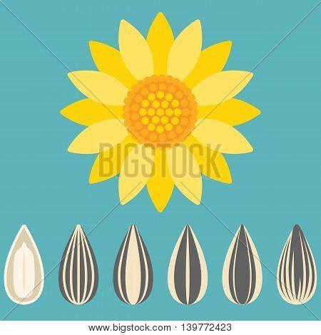 Vector sunflower and sunflower seed, flat design