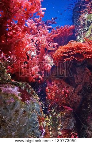 Beautiful photograph of colorful corals and red algae aquatic plants in the Lisbon Oceanarium, Portugal. Wild nature background.