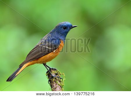 Blue-fronted Redstart (phoenicurus Frontalis) The Beautiful Blue Bird With Orange Belly Perching On