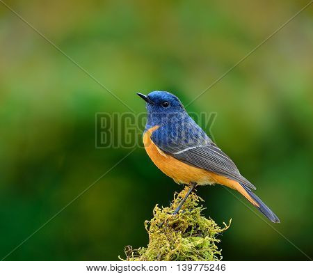 Blue-fronted Redstart (phoenicurus Frontalis) The Colorful Bird Perching On Top Of The Mossy Spot On