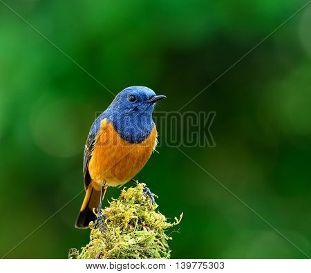 Blue-fronted Redstart (phoenicurus Frontalis) The Lovely Colorful Bird Perching On Top Of The Mossy