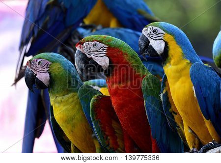 Buffon's, Harliquin And Blue-and-gold Macaw Birds Sitting Togethers, Colorful Macaw Birds