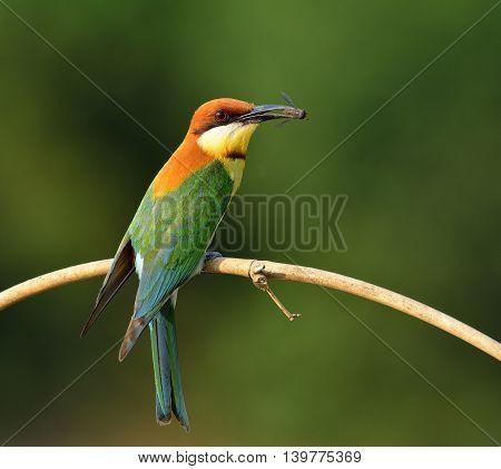 Chestnut-headed Bee-eater (merops Leschenaulti) Beautiful Orange Head, Green Wings And Blue Tail Bir