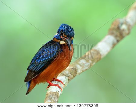 Chubby Blue Bird Perching On The Branch On Fine Green Blur Background, The Male Of Blue-eared Kingfi