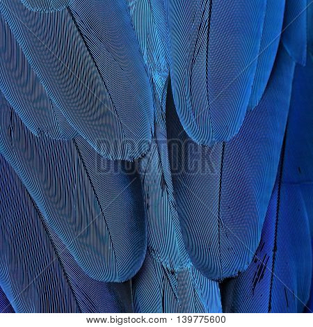 Exotic blue background feathers of the blue-and-yellow macaw (Ara ararauna) in close up