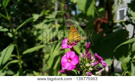 Yellow butterfly on a violet flower in the garden
