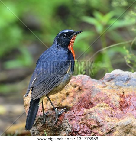 Firethroat (luscinia Pectardens) The Beautiful Grey And Blue Bird With Fire Look On His Chest Standi