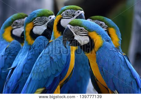 Group Of Blue-and-yellow Macaws (ara Ararauna) The Beautiful Blue Parrot Birds Sitting Together