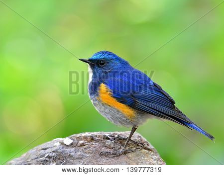 Himalayan Bluetail (tarsiger Rufilatus) The Beautiful Chubby Blue Bird Standing On The Rock Ground W