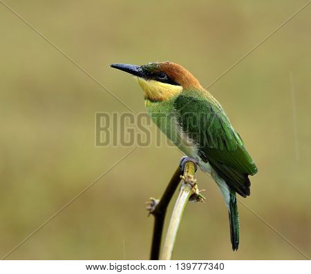 Juvenile Of Chestnut-headed Bee-eater (merops Leschenaulti) Lonely Perching On The Curve Branch Whil