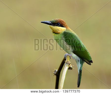 Juvenile Of Chestnut-headed Bee-eater (merops Leschenaulti) Perching On The Curve Branch Withrain Dr