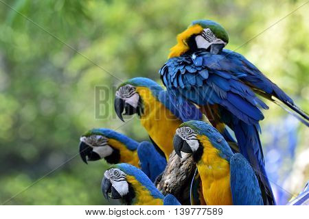 Lovely Group Of Blue-and-gold Macaw Parrot Birds In Different Actions