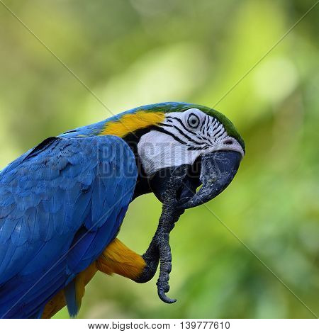 Lovely Of Blue-and-yellow Macaws (ara Ararauna) The Beautiful Blue Parrot Bird Cleaning Its Foot