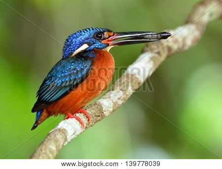 Male Of Blue-eared Kingfisher (alcedo Meninting) A Little Beautiful Blue Bird Perching On The Branch