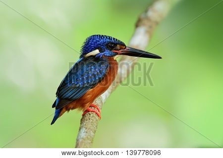 Male Of Blue-eared Kingfisher (alcedo Meninting) The Cute Beautiful Blue Bird Standing On The Branch