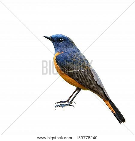 Male Of Blue-fronted Redstart (phoenicurus Frontalis) The Beautiful Blue Bird With Ornage Belly Show
