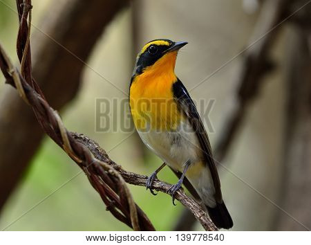 Male of Narcissus Flycatcher (ficedula zanthopygia) the beautiful yellow with black and grey feathers perching on the vines