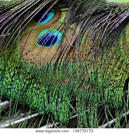 The velvet green with golden look texture of Indian Peacock tail the most beautiful bird feathers background
